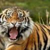 Ужас! Тигри изядоха жена в зоопарк!