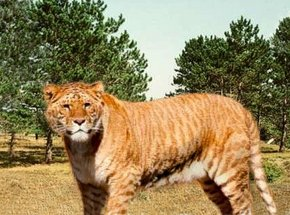 tigri-4