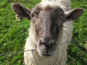 Животновъдството е в такъв упадък, че овцете няма да стигнат за всички