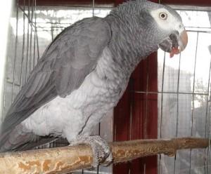 папагал жако