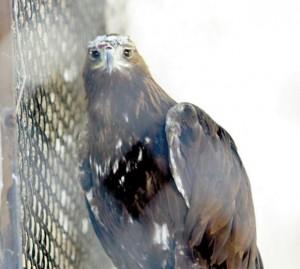 Скалният орел Калин