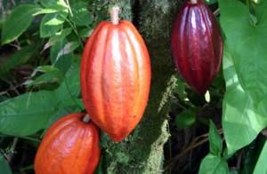 Какаовото дърво ражда по 10 плода на година