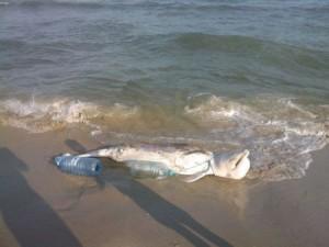 13 трупа на убити делфини за седмица, разследване няма