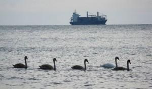 Лебеди плуват на офицерския плаж във Варна