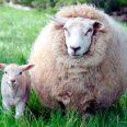 Овца и агънце