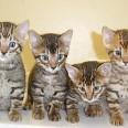 Най-търсени  били кожите на котките тип тигър