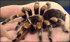 тарантула