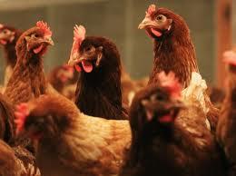 нещастни кокошки