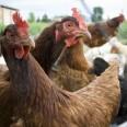 кокошки изкълваха стопанина си
