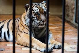 тигър1