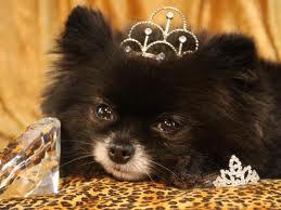 куче с корона