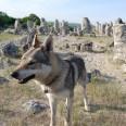 Вълкът Терес