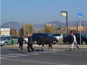 крава разгонена