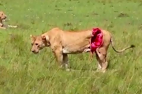 ранена лъвица