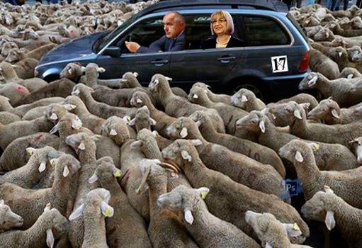 Цецка овца